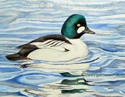 Goldeneye duck portrait